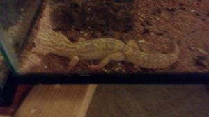 leopard gecko must go today