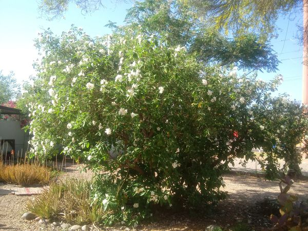 Texas Olive (Home & Garden) in Phoenix, AZ - OfferUp
