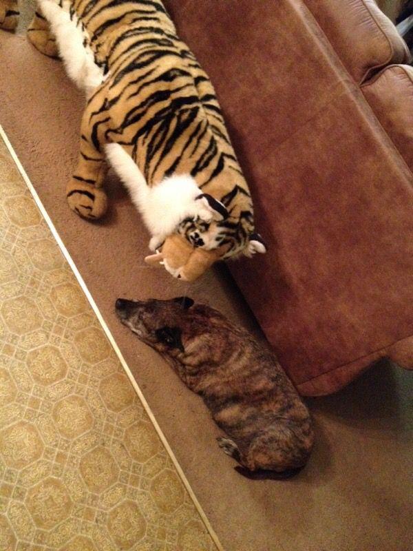 Bengal Cat Adoption San Antonio