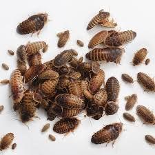 Dubia Roaches - Feeders