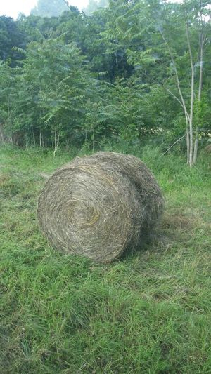 Orchard grass hay