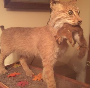 Drastically Reduced-Bobcat Taxidermy