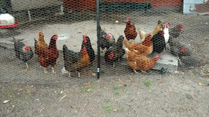 Laying hens for sale, chickens, eggs
