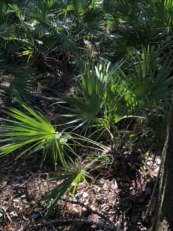 FREE Saw Palmetto Palm palms native Florida plants bushes tree (Home ...
