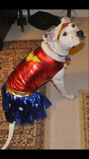 Rubie's XL Wonder Woman Halloween Costume For Dogs DISCLAIMER: I AM NOT SELLING THE DOG