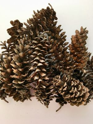 Beautiful pinecones, white pine, cleaned and inspected