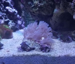 """Coral frags both about 2"""" - Blue Cespitularia"""