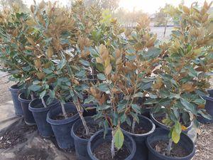 Mezquite 8 feet tall 15 gallon bucket home garden in rancho little gem magnolia sciox Gallery