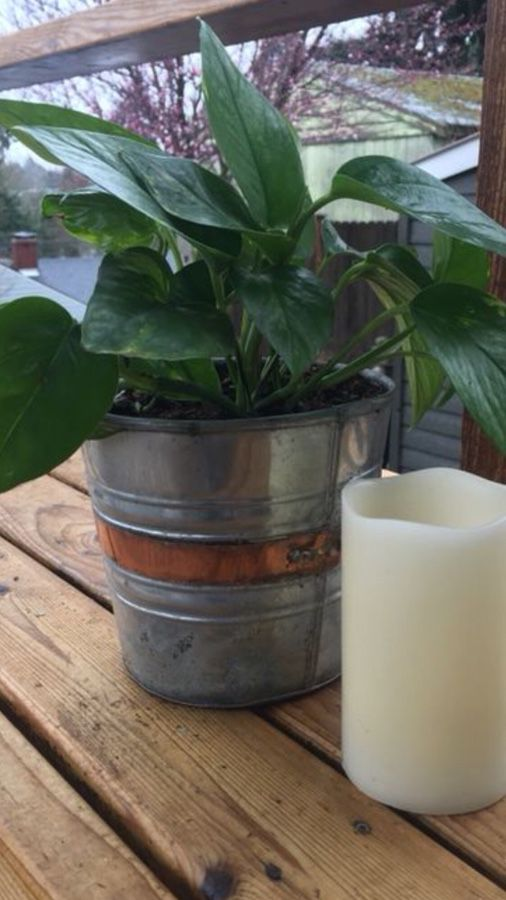 Live Philodendron in distressed metal bucket flower pot planter with