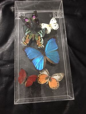 Assorted butterfly taxidermy