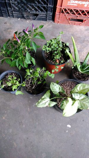 Herbs peppers aloe 6 plants and some freebies