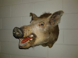 Massive Authentic Boars Head
