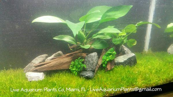 Live Aquarium Plants Natural Fish Tank Pet Supplies in Doral FL