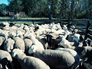 Goats lamb sheep