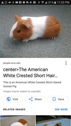 Guinea pig 4 sale