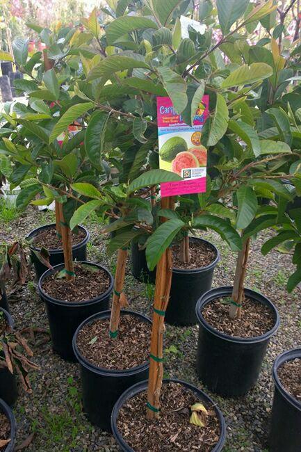 Best Buy Nursery Guava Tree Sale Home Garden In Ontario Ca Offerup