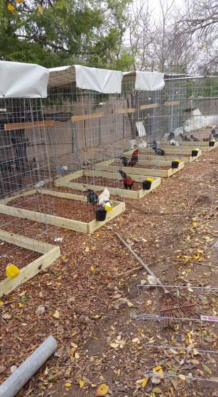 chicken conditioning pens - Google Search