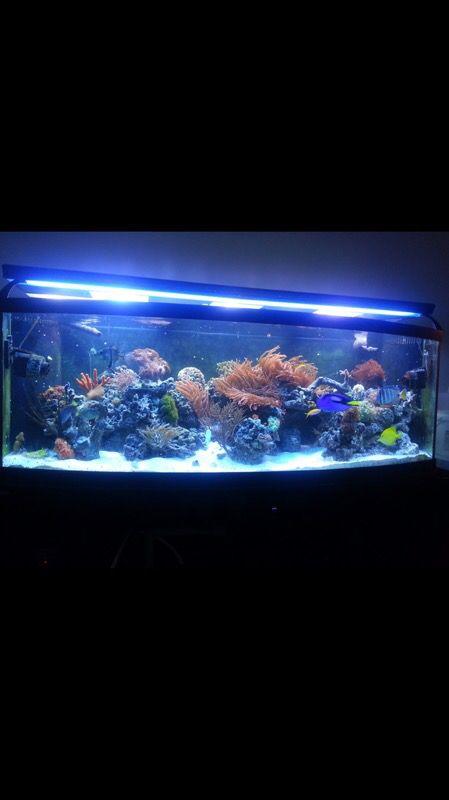 155 gal bowfront aquarium fish tank reef ready