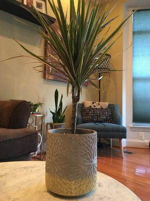 Dracaena in a Gold cement pot